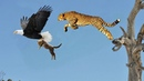 Eagle giant surprise steal baby Cheetah but later Cheetah jumps from tall tree attack Eagle revenge