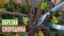 СМОРОДИНА 🌱 Правильная обрезка повысит урожай / Садовый гид