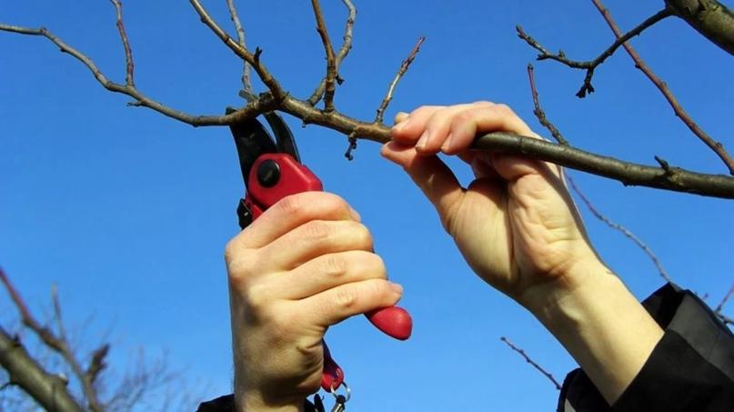 В Симферопольском районе планируется проведение экспресс-учебы по обрезке плодов...