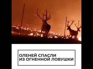 Оленей спасли из огненной ловушки