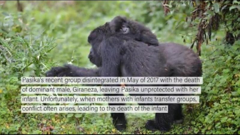 Пасика одинокая горилла