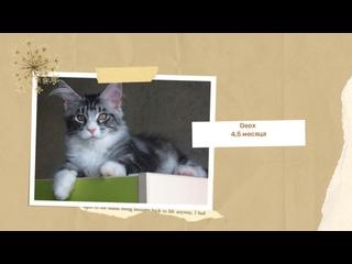 Video da Котята мейн кун