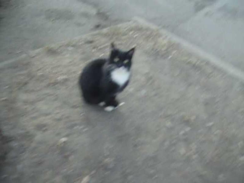 котёнок черно - белый