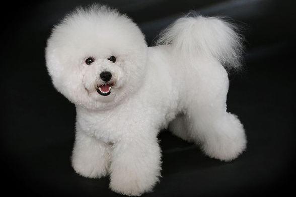 Самые маленькие породы собак, изображение №2