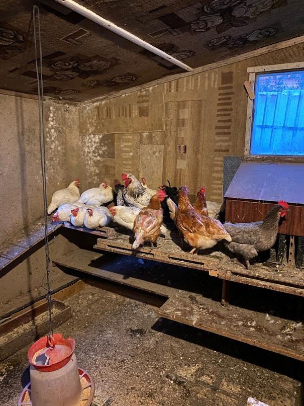 Купить яйца домашние куриные. | Объявления Орска и Новотроицка №28689