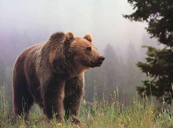 Традиции и Праздники. Медведь как оберег семейного очага на Руси. Забытая свадебная традиция.