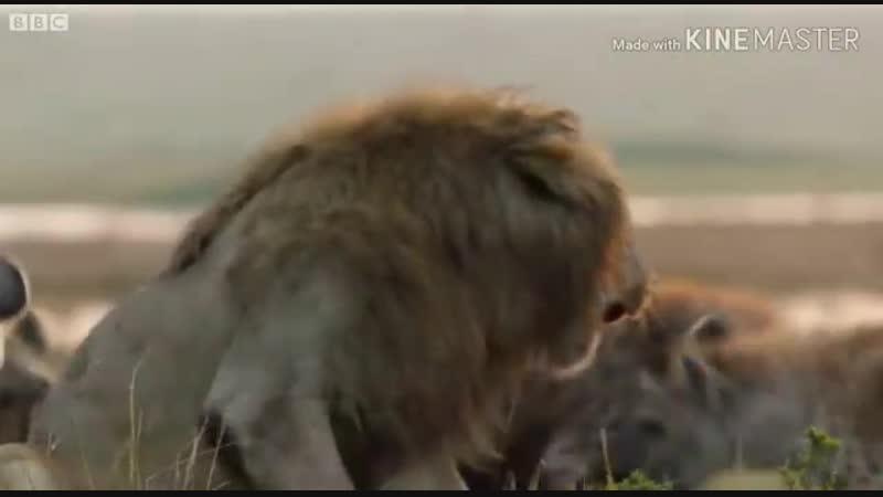 Если даже ты лев бывает так что тебе необходим брат