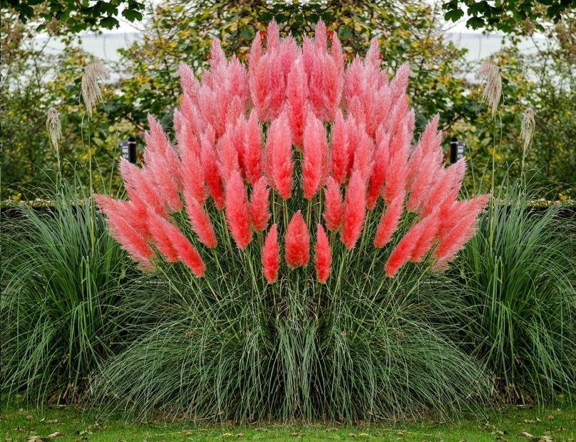 Пампасная трава - одна из самых красивых. Как же вырастить такое чудо на своем дачном участке, изображение №2