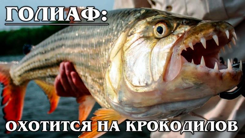 БОЛЬШАЯ ТИГРОВАЯ РЫБА Голиаф речной монстр Рыба которая ест крокодилов Факты про хищных рыб