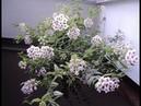 Комнатные растения Хойя Белла