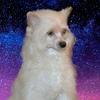 Собаки Китайскаястаффорды
