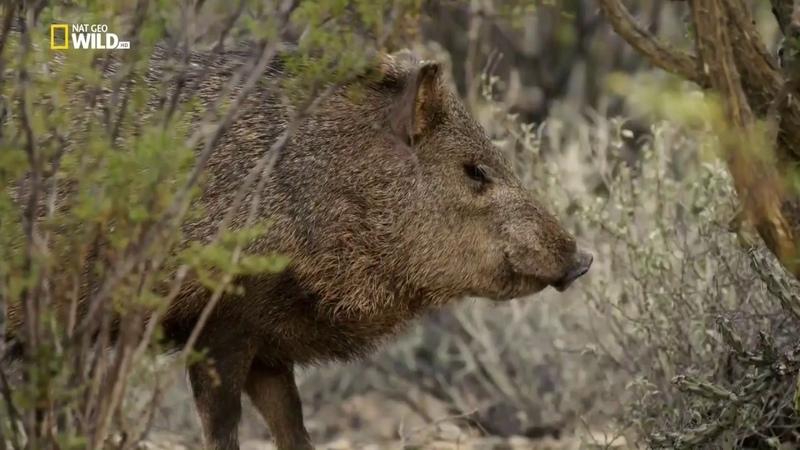Непокорная Мексика 1 серия Охота и выслеживание