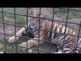 Пытаюсь подружиться с тигрятами Фриды