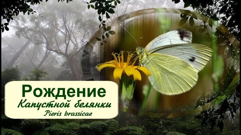 Рождение Капустной белянки Pieris brassicae